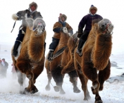 Ships of the desert? Camels show they're pretty nippy in the frozen tundra too